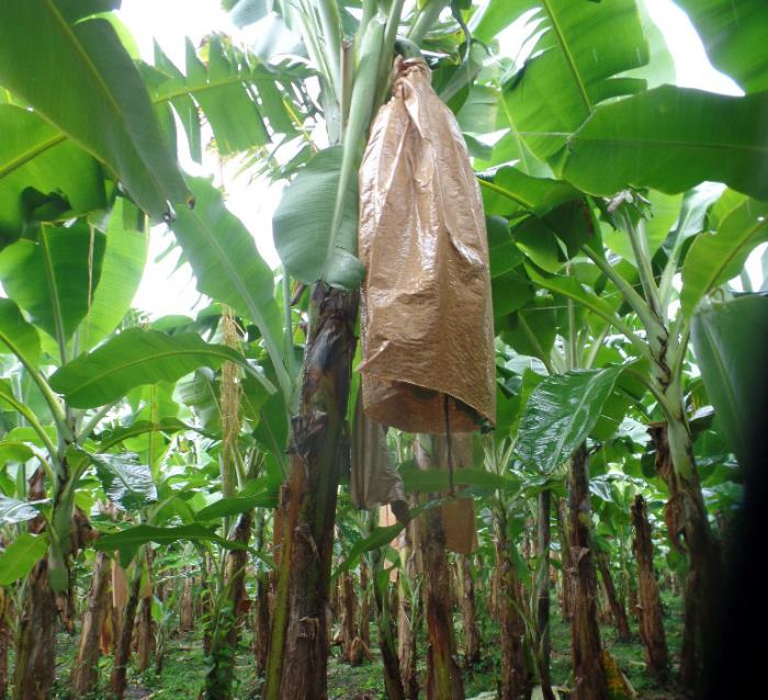 Smurfit Kappa launches sustainable new alternative for banana producers