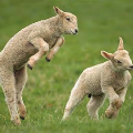 Whilst the spring lambs gambol!
